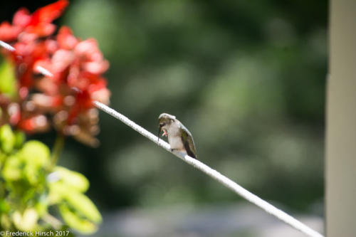 Hummingbird on clothesline
